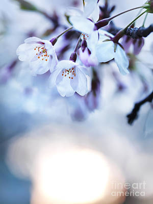 Nature Photograph - Cherry Tree Blossoms In Morning Sunlight by Oleksiy Maksymenko