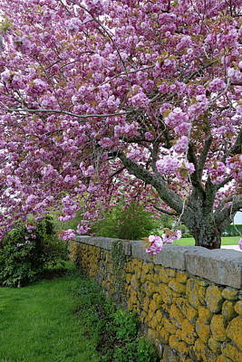 Photograph - Cherry Tree, Cape Cod by Gerald Hiam