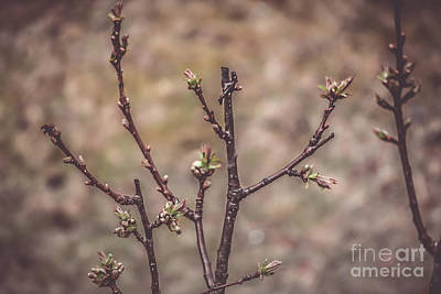 Flora Photograph - Cherry Tree by Claudia M Photography