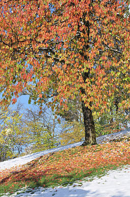 Photograph - Cherry Tree In Autumn Leaves Meadow Covered With Early Snow by Martin Stankewitz