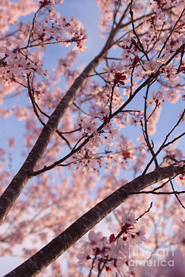 Photograph - Cherry Tree In Bloom by Ana V Ramirez