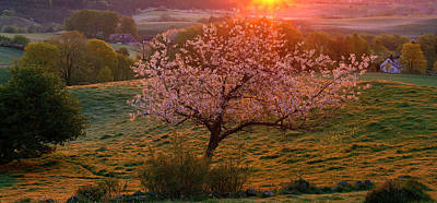 In Bloom Photograph - Cherry Tree In Bloom Broesarp Sweden by Panoramic Images
