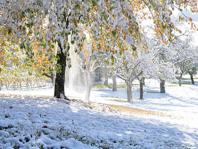 Photograph - Cherry Tree With Autumn Leaves Covered With Early Snow In October by Martin Stankewitz
