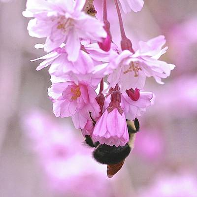 Photograph - Cherry Tree With Bee by Femina Photo Art By Maggie