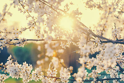 Photograph - Cherry Tree With Blooming White Flowers by Michal Bednarek