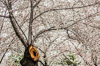 Photograph - Cherry Trunk 3 by Karen Saunders