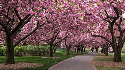 Photograph - Cherry Walk by Cornelis Verwaal