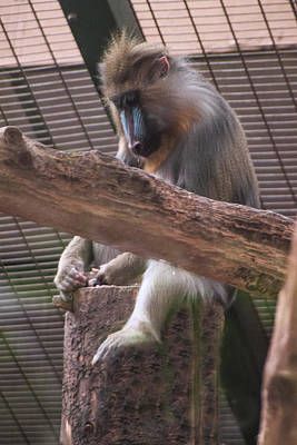 Photograph - Chester Zoo - Monkeys by Doc Braham