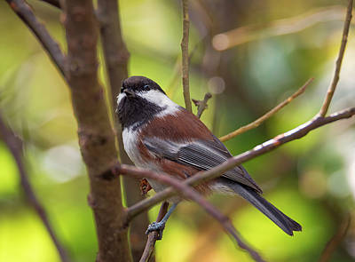 Photograph - Chestnut-backed Chickadee by Loree Johnson