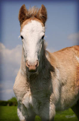 Blagdon Photograph - Chestnut Blagdon Gypsy Horse Filly by Elizabeth Sescilla
