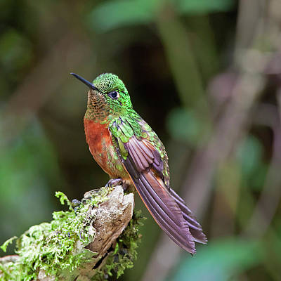 Ecuador Photograph - Chestnut-breasted Coronet by Photography by Jean-Luc Baron