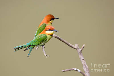 Kaziranga National Park Photograph - Chestnut-headed Bee-eaters by B. G. Thomson