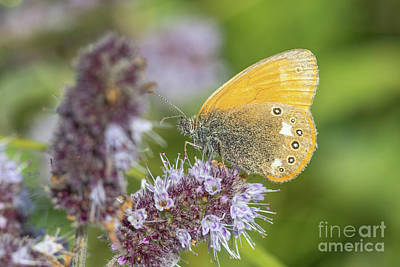 Photograph - Chestnut Heath - Coenonympha Glycerion by Jivko Nakev