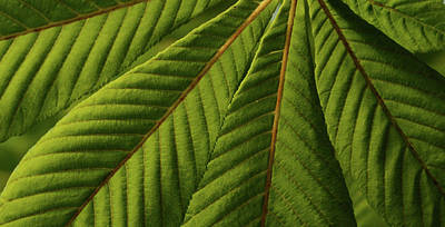 Travel Rights Managed Images - Chestnut Leaves Green Royalty-Free Image by Whispering Peaks Photography
