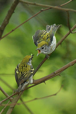 Photograph - Chestnut-sided Warbler Being Fed by Alan Lenk