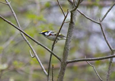 Sports Royalty-Free and Rights-Managed Images - Chestnut Sided Warbler by David Tennis