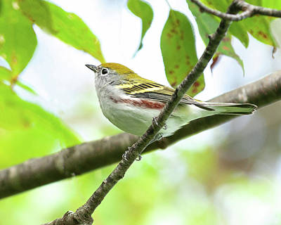 Photograph - Chestnut-sided Warbler by Lara Ellis