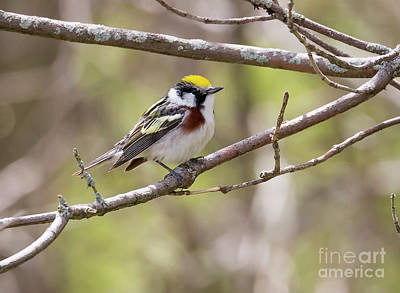 Photograph - Chestnut-sided Warbler by Ricky L Jones