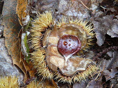 Photograph - Chestnut by Valerie Ornstein