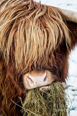 Cow Photograph - Chewing The Cud by Tim Gainey