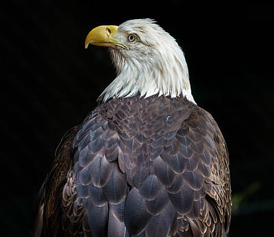 Photograph - Cheyenne The Eagle by Greg Nyquist