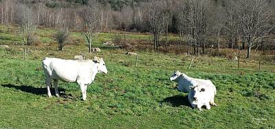 Photograph - Chianina Cows by Judith Rhue