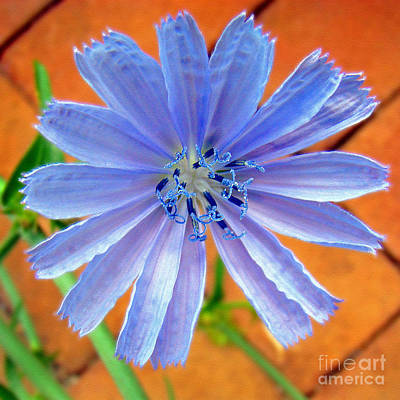 Photograph - Chic Chic Chicory by Sue Melvin