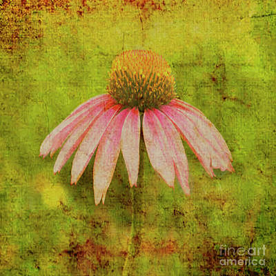 Digital Art - Chic Coneflower Art by Mary Bellew