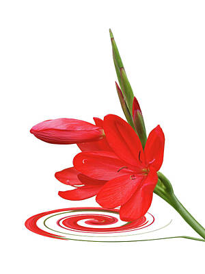 Photograph - Chic Ritzy Red Lily On White by Gill Billington