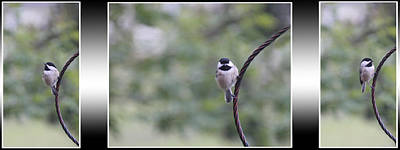 Tryptych Photograph - Chickadee 0423 by Ericamaxine Price