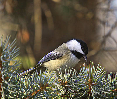 Chickadee-10 Art Print by Robert Pearson
