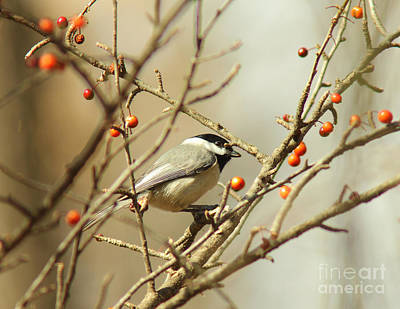 Chickadee 2 Of 2 Art Print by Robert Frederick