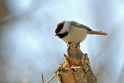 Michigan Photograph - Chickadee 360 by Michael Peychich
