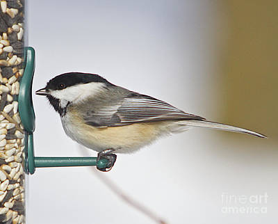 Chickadee-4 Art Print by Robert Pearson