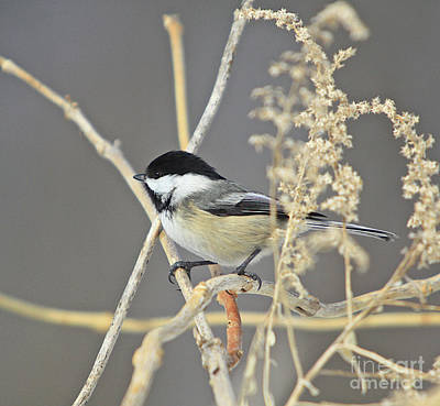 Chickadee-8 Art Print by Robert Pearson