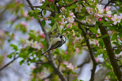 Sports Royalty-Free and Rights-Managed Images - Chickadee and Flowering Tree by David Tennis
