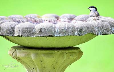Photograph - Chickadee At Bird Bath by Phil Rispin