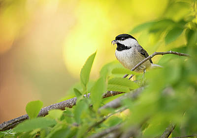 Photograph - Chickadee At Dusk by Philip Rispin