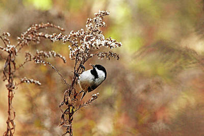 Photograph - Chickadee At Goldenrod Feeder by Debbie Oppermann