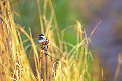 Photograph - Chickadee At The Marsh by Sharon Talson