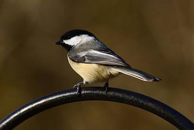 Photograph - Chickadee by Brad Chambers