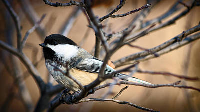 Photograph - Chickadee by Cameron Wood
