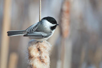 Photograph - Chickadee by Celine Pollard
