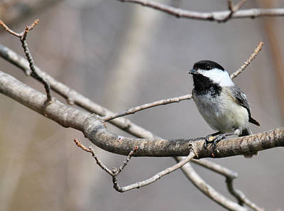 Black And White Horse Photography - Chickadee by David Arment