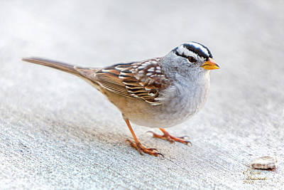 Photograph - White Crowned Sparrow by David Millenheft