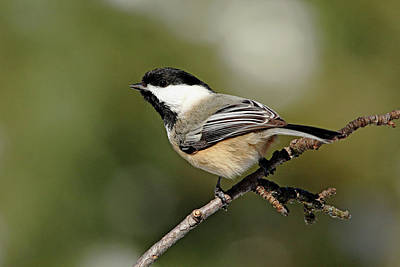 Photograph - Chickadee by Debbie Oppermann
