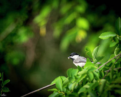 Photograph - Chickadee Feeding A Family by Phil Rispin