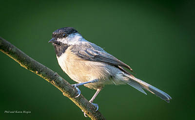 Photograph - Chickadee In A Tree-02 by Phil  and Karen Rispin