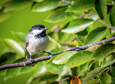 Photograph - Chickadee In A Tree by Philip Rispin