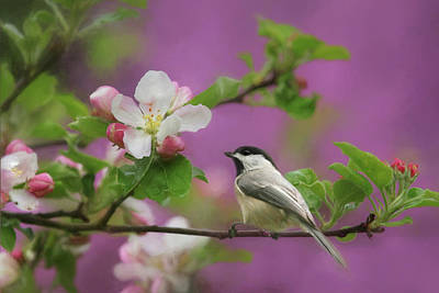 Chickadee In Blossoms Art Print